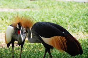 Crowned Crane 5 - Eye To Eye by lostreality91