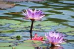 Central Park waterlilly 1 by wildplaces
