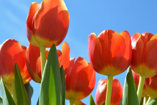 Tulips to the Sky by AloneRacecar