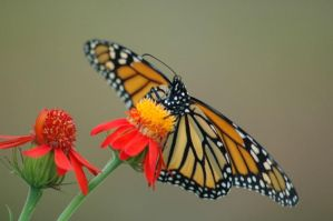 Monarch on Flame Vine by OrphieG
