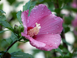 Rose of sharon morning by Mogrianne