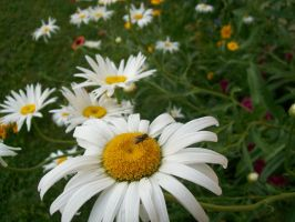 Daisy Galore 01 by DominosAreFalling