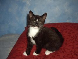 Oreo Kitteh by disowned-puppy