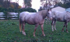 Red Roan Blanket Appaloosa 5 by cluteplayer