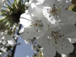 Cherry tree flowers by Christine-Knox