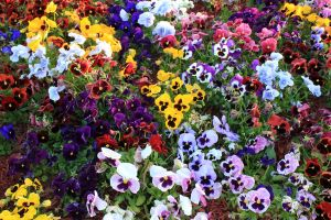 Pansies by Thy-Darkest-Hour