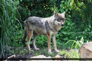 European Wolf 250 by Canisography