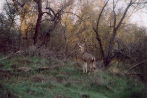 young buck by champaignful