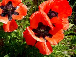 red poppies 1 by misshoneywoo