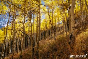 Grassy Autumn Aspens by mjohanson