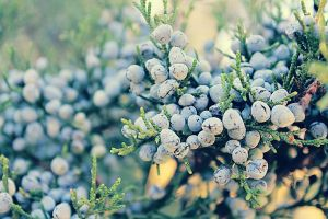 Winterberries by Sunira