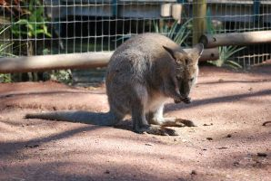 Wallaby by SBG-CrewStock