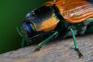 Jewel Beetle - Temognatha variabilis by Honeycello-Kid