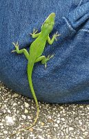 Lizard on jeans at JJ Mayes by CorazondeDios
