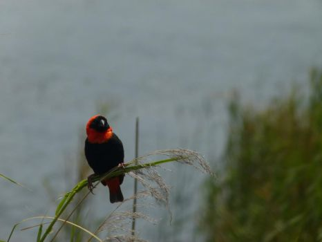Red Bishop by frayzoid