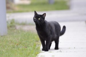 Black Cat 13 by Lakela