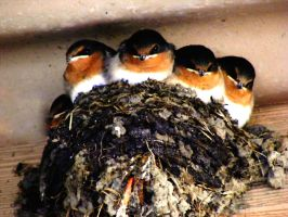 Natives: Welcome Swallows by phlufii