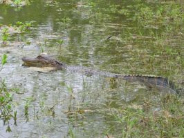 Young gator lurking by Neko--Chana