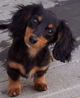 cute dachshund by 122Wizardman