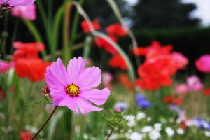 Pink Cosmos 2 by DistantVisions
