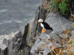 Puffin 2 by RadioactiveFlowers