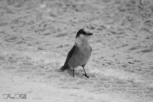 Grey Jay BW by FreeFallPhotographer
