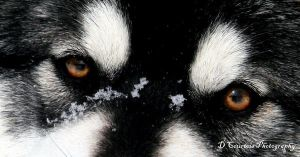 Malamute 1 by davetimmins