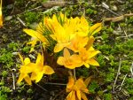 Clump of Yellow by RRGreiner