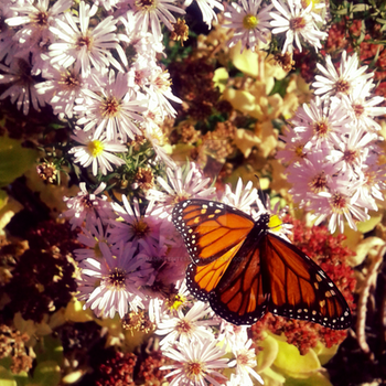 Inset Photography: Monarch Butterfly by vampirebites18