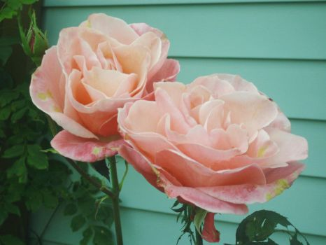 Twin Roses by maeousofclay