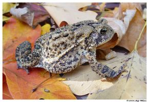 Fall Toadie by Tazzy-