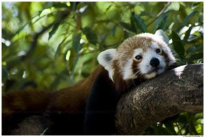 Relaxing Red Panda by TVD-Photography