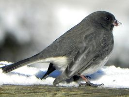JUNCO by Lou-in-Canada