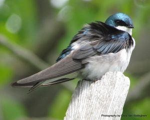Wind Resistant Tree Swallow by vanwaglajam