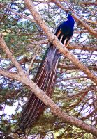 Peacock in tree by Stock-by-Kai