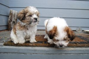 Shihi-Tzu Puppies 6 by xxtgxxstock
