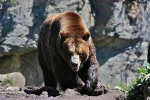 Growling Grizzly by Sp3nc3r-H1nds