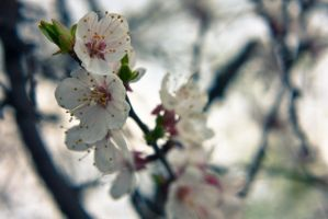 Apricot flowers 3, Donetsk by daily-telegraph