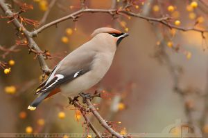 Waxwing Fever by thrumyeye