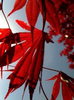 Japanese Maple by ashknight