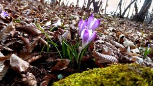 moss and crocus by ErvinOgrasevic