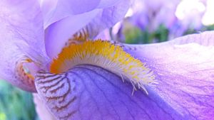 Iris croatica close-up ~bright version~ by Paul774