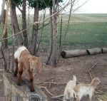 My Baby Goats Playing by bluebellangel19smj