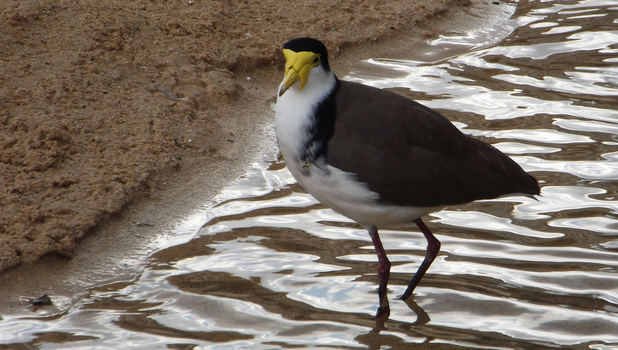 Lapwing by MF99K