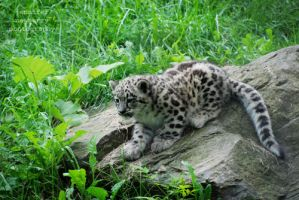 Snow Leopard Cub 18 by filemanager