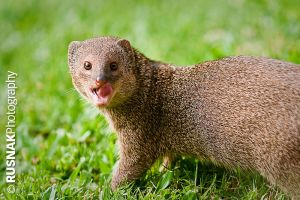 Mongoose by snak