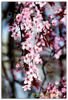 Spring blossoms - 5 by bp2007