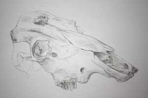 skull of a cow by SwarzezTier