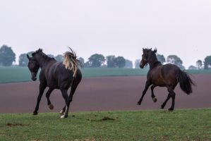 Warmblood and Andalusian Canter by LuDa-Stock