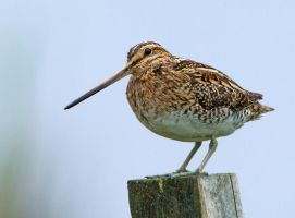 Snipe on a post by Jamie-MacArthur